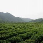 Une plantation de thé au beau milieu de la ville de Hangzhou.